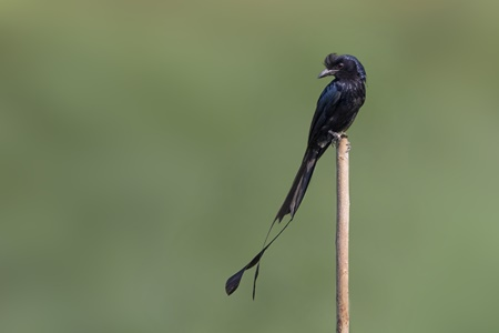 MacRitchie Reservoir - Greater Racket-tailed Drongo